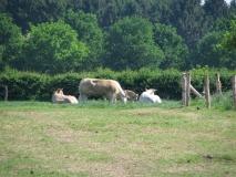 Kudde runderen: stier en moeders met kalfjes