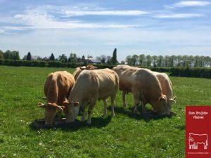 De koeien in de wei